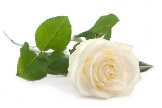 witte liggende roos
